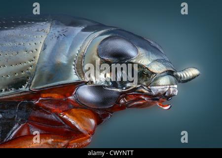 Whirligig beetle, macro shot - Stock Photo