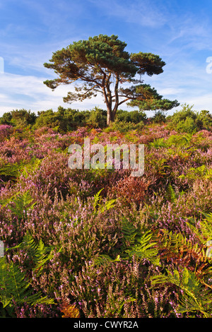 The infamous lone pine tree in the New Forest, Hampshire - Stock Photo
