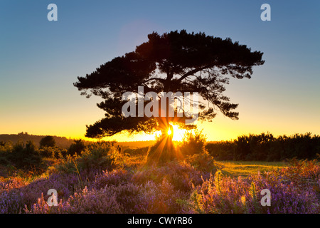The lone pine at Bratley View in the New Forest Hampshire - Stock Photo