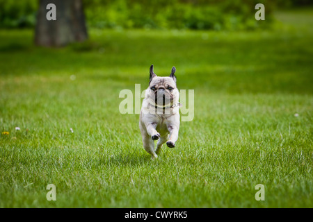 Young female pug dog running above lawn - Stock Photo