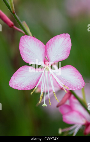Gaura lindheimeri 'Rosy Jane' growing in an herbaceous border. - Stock Photo