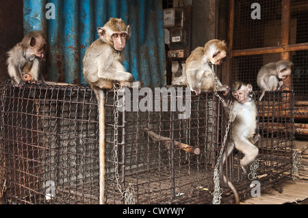 Chained, young, Macaque monkey for sale at the bird and