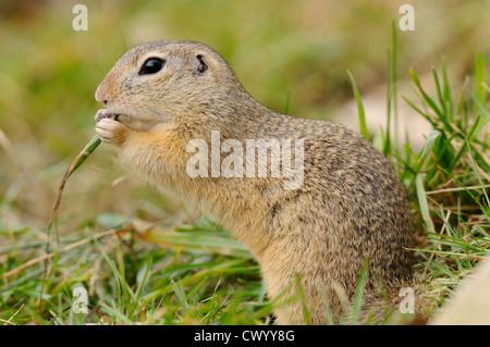 European ground squirrel (Spermophilus citellus) in grass - Stock Photo