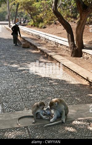 Macaque monkeys, in the grounds of the Pura Luhur Uluwatu temple on southern Bali's Bukit Peninsula, Bali, Indonesia. - Stock Photo