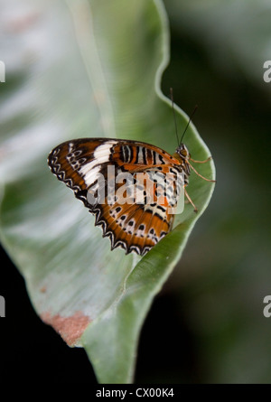 Orange Lacewing Butterfly on a leaf, Cairns, Australia - Stock Photo