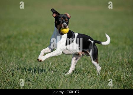 Dansk Svensk Gaardshund - Stock Photo