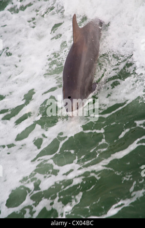 Dolphin following boat in Clearwater, FL - Stock Photo