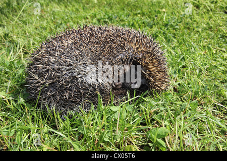 Young hedgehog sleeping in the grass - Stock Photo