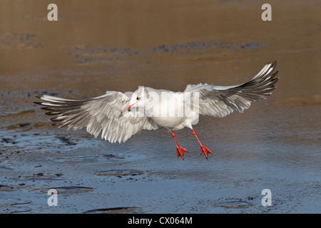 Black headed Gull, Larus ridibundus, Adult winter plumage bird taking off from an icy pool, Norfolk, December - Stock Photo