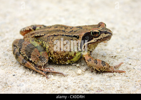 Common Frog Rana temporaria - Stock Photo