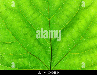 macro of green Tilia tree leaf, lit from behind - Stock Photo