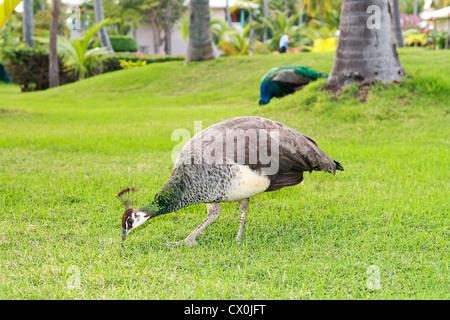 Peacock in garden of tropical resort - Stock Photo