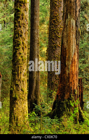 Douglas fir (Pseudotsuga menziesi) tree trunks in the forest, Olympic National Park Hoh Rainforest, Washington, - Stock Photo