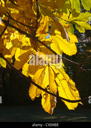 Leaves from the horse chestnut tree, yellow in autumn with sun from behind, photographed in Oslo Norway - Stock Photo