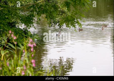 Ducks on water at Yalding, Kent, England, UK - Stock Photo