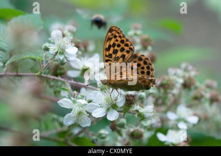 Silver-washed Fritillary (Argynnis paphia) Feeding on Bramble (Rubus fruticosus).  West Sussex, UK. July. - Stock Photo