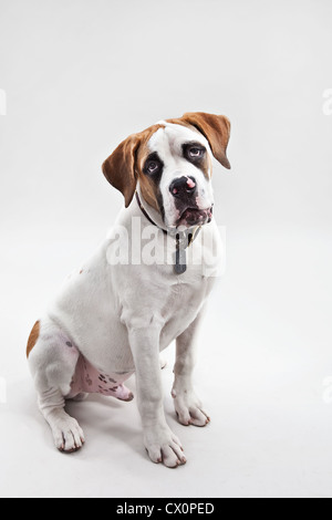 A portrait of St Bernard puppy in studio - Stock Photo