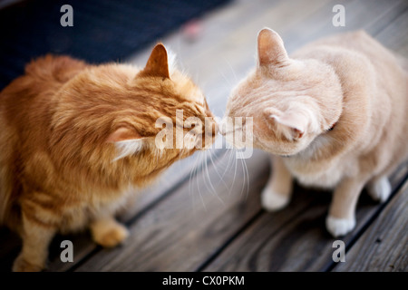 Overhead view of two cats touching noses - Stock Photo