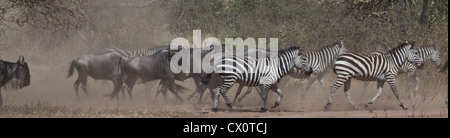 Zebra and Wildebeest during the Great Migration in Serengeti National Park, Tanzania. - Stock Photo