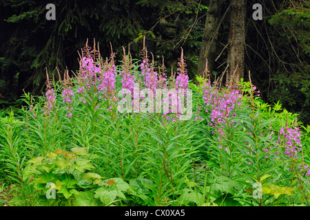 Fireweed (Chamaenerion angustifolium), Glacier National Park BC, Canada - Stock Photo