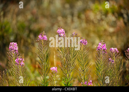 Fireweed (Chamaenerion angustifolium) and grasses in late summer, Waterton Lakes National Park, Alberta, Canada - Stock Photo