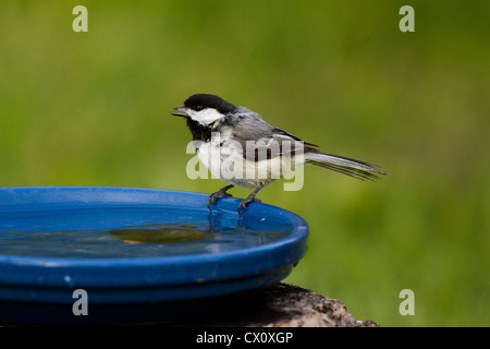 Black-capped Chickadee perched on a bird bath - Stock Photo