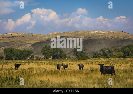 Cattle in field in Wyoming, USA - Stock Photo