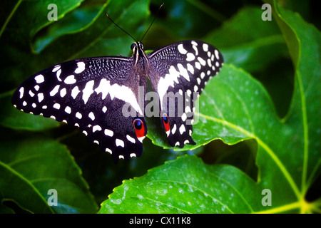 Papilio demoleus, Common Lime Butterfly, Black and white - Stock Photo