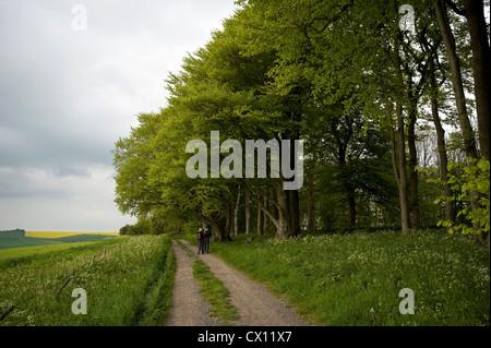 Ancient beech trees on the Ridgeway Long Distance Path near Liddington Hill, Wiltshire, UK