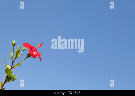 Red hibiscus flower against blue sky - Stock Photo