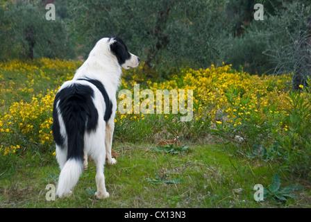 Sheep Crook And Black Dog