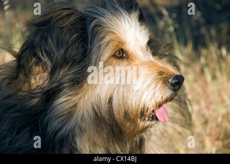 Portrait of a Briard dog in profile - Stock Photo