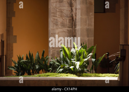 Cast iron plant (Aspidistra elatior) in a patio in the Plaça del Rei, gothic quarter, Barcelona, Catalonia, Spain - Stock Photo