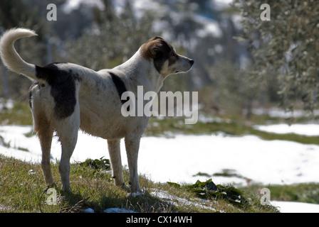 Mongrel dog standing in snowy landscape (Pelion, Greece) - Stock Photo