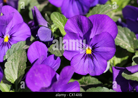 Purple Pansy Flowers - Stock Photo