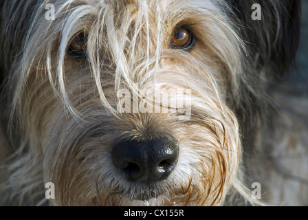 Portrait of a Briard dog looking eagerly and trustingly at camera - Stock Photo