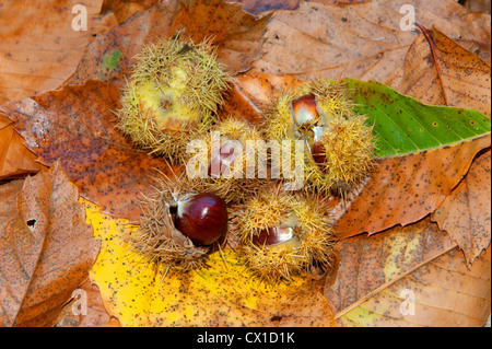 Sweet Chestnut Tree Castanea sativa edible fruiting nuts in spiny husk on woodland floor Kent UK - Stock Photo