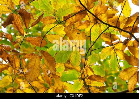 Sweet Chestnut Leaves Castanea sativa Ranscombe Farm Nature Reserve Kent UK golden autumn colours green yellow - Stock Photo