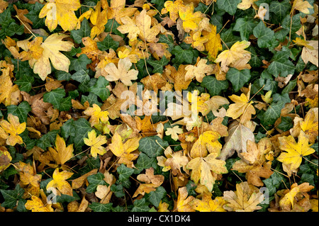 Autumn leaves on woodland floor Field Maple Acer campestre & Ivy Ranscombe Farm Nature Reserve Kent UK yellow green - Stock Photo