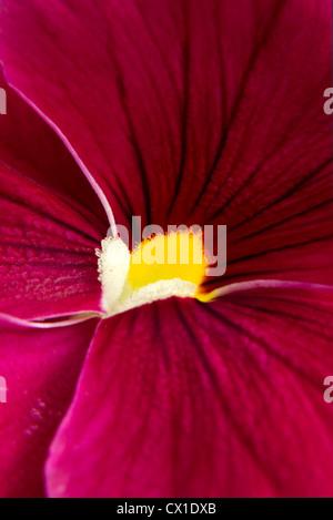Abstract of dark pink pansy - macro - Stock Photo
