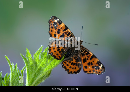 Map Butterfly Araschnia levana European species - Stock Photo