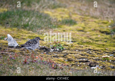 Purple sandpiper (Calidris maritima) on the arctic tundra at Bjornoya / Bear Island, Svalbard, Spitsbergen, Norway - Stock Photo