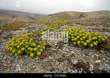 Yellow flowers on the arctic tundra at Bjornoya / Bear Island, Svalbard, Spitsbergen, Norway - Stock Photo