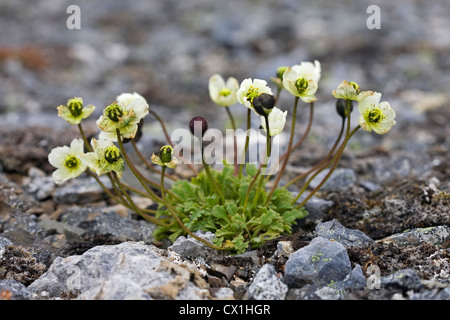Svalbard poppy (Papaver dahlianum) on the arctic tundra at Bjornoya / Bear Island, Svalbard, Spitsbergen, Norway - Stock Photo