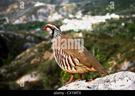 Red legged Partridge ( Alectoris rufa ) in Las Alpujarras , Spain - Stock Photo