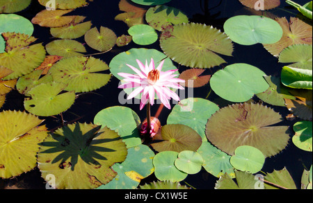 Blooming Lotus in Beautiful Water Pond covered with Green lotus leaves scene from Kerala India - Stock Photo