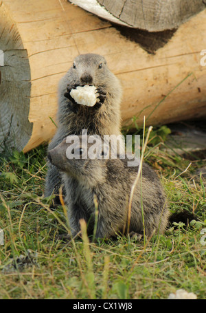 Little marmotons in front of a piece of wood in the grass and eating - Stock Photo