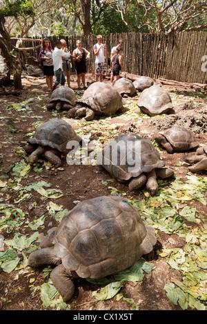 Tourists with the colony of Aldabra Giant tortoises, (Aldabrachelys gigantea), Prison island, Zanzibar africa - Stock Photo