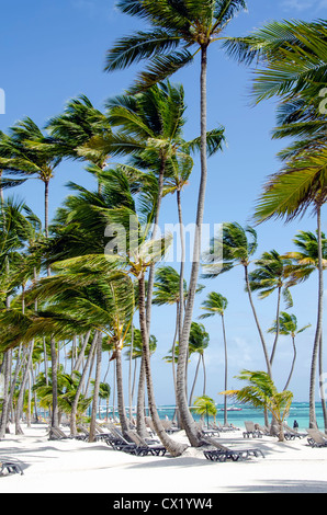 Beach at Bavaro Punta Cana with tall coconut palm trees and beach chairs - Stock Photo