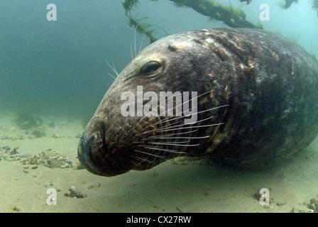Inquistive bull Grey seal, Halichoerus grypus, resting beneath mooring buoy chains - Stock Photo